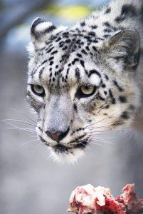 snow-leopard-1372775-201x300