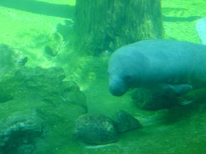 manatee-seen-from-underwater-f-1456058-300x225