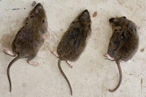 three-rats-1312117-300x200